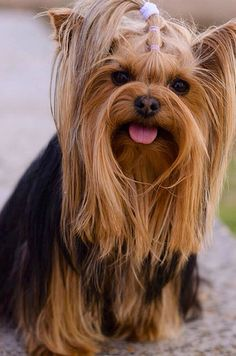 More About The Yorkshire Terrier Pup Temperament Yorkies, Yorkie Puppy, Yorshire Terrier, Silky Terrier, Cute Puppies, Cute Dogs, Dogs And Puppies, Yorkshire Terrier Puppies, Beautiful Dogs