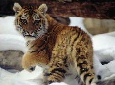 Tiger Cub in the Snow
