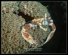 Porcelain crab  © Arno Enzerink / www.stockphotography.nu. All rights reserved.