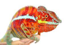 Panther Chameleon - Furcifer Pardalis - Ambanja Local - Male  Wild caught panther chameleon from Madagascar
