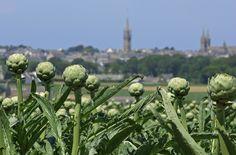 Les artichauts de Saint-Pol de Léon en Finistère une partie de l'agriculture de la Bretagne.