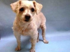 SUPER URGENT 07/04/17 BUD – A1117439  MALE, WHITE, MALTESE MIX, 8 yrs STRAY – STRAY WAIT, NO HOLD Reason STRAY Intake condition EXAM REQ Intake Date 07/03/2017, From NY 10039, DueOut Date 07/07/2017