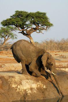 gotta get a drink, reeeachh. goofy elephant