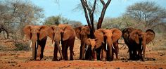 05 June World Environment Day  -  African elephant populations continue to face an immediate threat to their survival from high-levels of poaching for their ivory, especially in Central and West Africa where the situation appears to have deteriorated. - Photo: CITES
