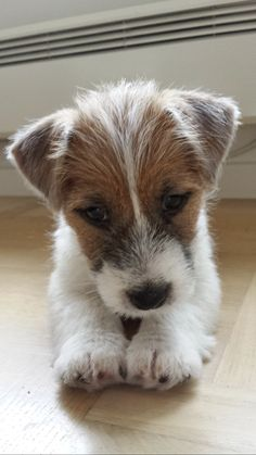 Jack Russell Terrier - A Dog in One Pack - Champion Dogs Chien Jack Russel, Jack Russell Terrier, Jack Russell Puppies, Cute Puppies, Cute Dogs, Dogs And Puppies, Animals And Pets, Funny Animals, Cute Animals