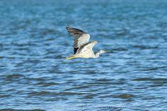 Heron Glide | Flickr - Photo Sharing!