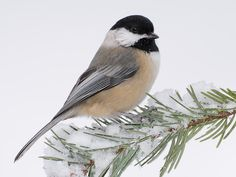 Black-capped Chickadee, these stunning little creatures love my apple and cherry trees. I love to sit in the hammock under their feeders. They are little piggies!