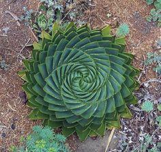 plantas formas geométricas  ALOE  POLYPHYLLA