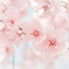 t-okimeki:  Pinhk Blossom Photography by Marasca Photography by (Vanessa)