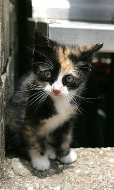 I want this adorable calico kitten!!!!!! !!!!!!!!!!!!!!!!! !!!!!!!!!!!!!!!!!!!!!!!!!!! ............ no seriously ...... I want =)