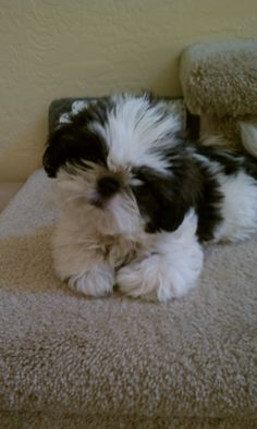 My Shih Tzu, Nicki, is now 10 - but this puppy looks just like she did when she was a baby. How can anyone resist??