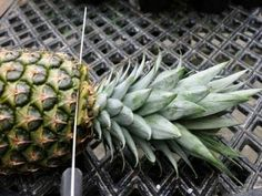 In order to enjoy pineapples year-round, learn how to grow a pineapple from the top of a pineapple. You can grow pineapples indoors or outdoors at home.