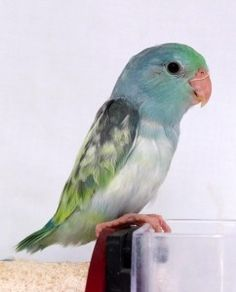 I want this bird!!! New Turquoise Pied Baby Parrotlets