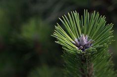 pine needle - 松葉