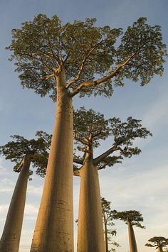 Grandidier's Baobab (Adansonia grandidieri) - an imposing and unusual that tree occurs only on the island of Madagascar, where it is threatened by the encroachment of agricultural land. There are eight species of baobabs, six of which are endemic to Madagascar.