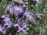 Salvia 'Allen Chickering' - Cleveland Sage Hybrid