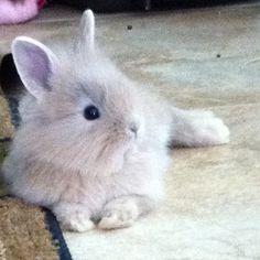 Dwarf lionhead bunny