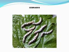 Power point gusanos de seda Life Cycles