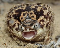 Namaqua Rain Frog... visit The Featured Creature to hear its too-cute-for-words squeak!