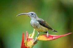 Little Spiderhunter  #nature #bird #wildlife #spiderhunter #animal #Photography #Nikon