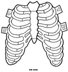 Aparato respiratorio: caja torácica.