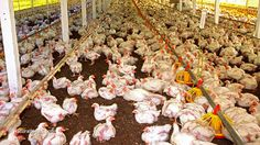USDA rules will allow chicken factories to conduct their own inspections hard to believe.