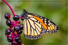 Monarch on Purple Berries by Peter #Photography #Monarch_Butterfly