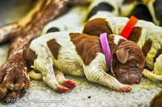 One day old German Shorthaired Pointer Puppy. Adventures of a GSP Hunting Dog