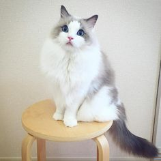 ちょこーん 体重変わってないのにモコモコになってきた #ragdoll #ragdollcat #ragdollsofinstagram #instaragdoll #instacat #instagramcats #catsofinstagram #catlove #adorable #aww #pet #cat #neko #ラグドール #猫 #ネコ #ねこ #ねこ部