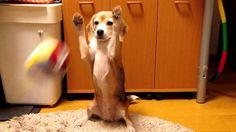 """スーパービーグル プリン """"Purin the Super Beagle"""" #31"""