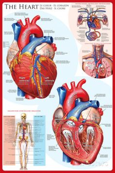An amazing poster of the anatomy of the human heart! Great for classrooms, doctor's offices, and Med Students. poster Anatomy of the Heart Cardiology Education Poster Heart Anatomy, Body Anatomy, Heart Poster, Human Anatomy And Physiology, Renal Physiology, Medical Anatomy, Blood Pressure Remedies, Human Heart, Radiology