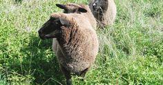 Romney Sheep, Sheep And Lamb, Goats, Cow, Lambs, Brittany, Dachshund, Animals, Knitting