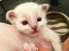 Little Blue is such a sweetheart! #minivaniljer #minivaniljerna2016 #birma #birman #breeder #catsofinstagram #chokladochvanilj #kitten #pinkalicious #welovecats #we_love_cats