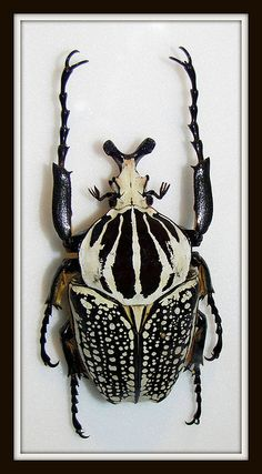 Goliath Beetle |