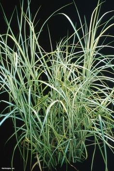 """palm sedge """"carex muskingumensis' ice fountains  Plant Type: Perennial USDA Hardiness Zone: 3a to 8b Height: 18.0"""" to 24.0"""" Spread: 12.0"""" to 18.0"""" Light Exposure: Full Shade to Full Sun Bloom Color: Brown Bloom Time: Early Summer, Mid Summer Leaf Color: Green Growth Rate: Average Moisture: Moist to Wet Soil Condition: Adaptable, Clay, Loamy, Sandy Form: Upright Landscape Uses: Border, Container, Ground Cover, Massing, Rock Garden, Specimen, Woodland Garden Special Features: Good For…"""