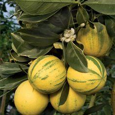Citrus 'Tiger Navel' Sweet Orange (Citrus sinensis).