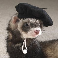 Ferret wearing a beret Baby Ferrets, Funny Ferrets, Pet Ferret, Animals And Pets, Funny Animals, Cute Little Animals, Oui Oui, Cute Animal Pictures, Beautiful Creatures