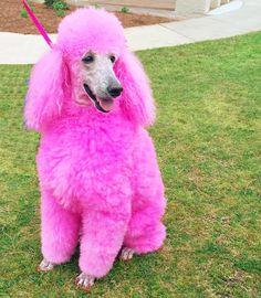 hot pink poodle