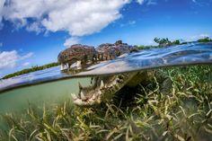A dentada do crocodilo pode chegar a 1.5 toneladas!
