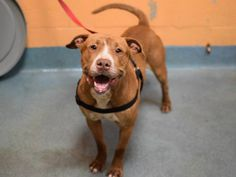 TO BE DESTROYED - 04/01/15 Brooklyn Center My name is ALSTON. My Animal ID # is A1030958. I am a male brown and white pit bull mix. The shelter thinks I am about 3 YEARS old. I came in the shelter as a STRAY on 03/21/2015 from NY 11212, owner surrender reason stated was STRAY. MAIN THREAD: https://www.facebook.com/photo.php?fbid=986307164715496