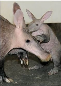 Baby Aardvark and mummy