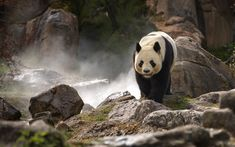 Download wallpapers panda, wildlife, bamboo bear, rocks, cute animals, bears, China, mountain river