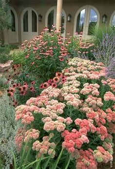 drought tolerant plants in luscious colors: sedum, coneflower, perovskia, low-growing silver artemsia variety w/green spears of daylily? or crocosmia? or knifophia?. miscanthus behind
