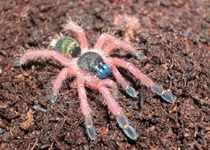 Tarantula - Ephebopus cyanognathus Ephebopus cyanognathus (Araneae - Theraphosidae) is a neotropical tarantula known only from French Guiana