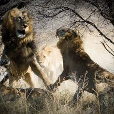 Male lions fighting - Botswana