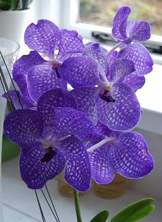 Vanda Orchid - 'Blue Magic'
