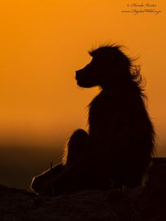 Chacma Baboon by Hendri Venter on 500px