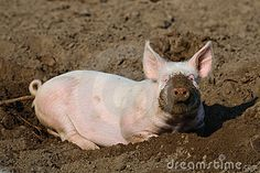 Cute biological farm pig with muddy snout looking at the camera, while lying lazily in the mud