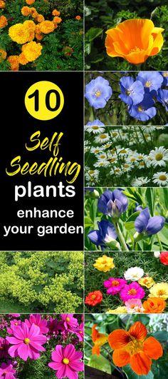 10 Self-Seedling Plants enhance your garden - NatureBring