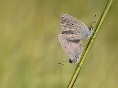 Small Blue Conservation, Moth, Insects, Butterfly, Blue, Animals, Animais, Animales, Animaux